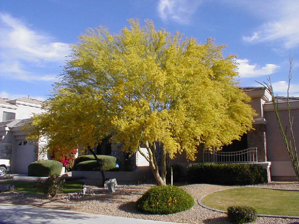 Landscaping With Palo Verde Trees : Blue palo verde tree quantum landscaping nursery desert trees