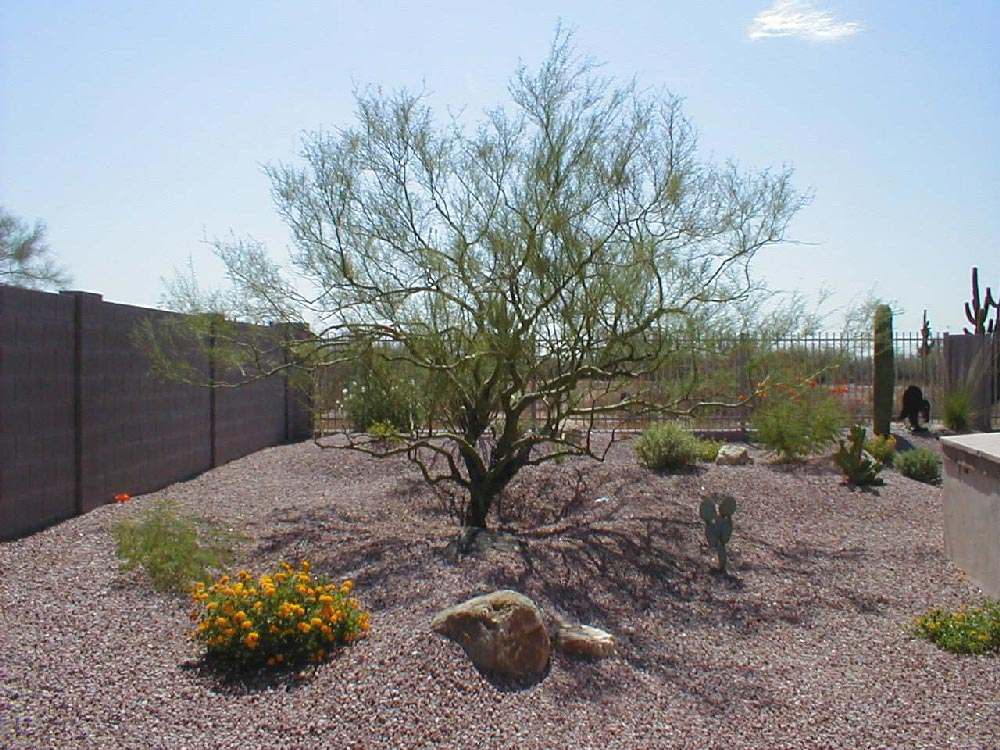 Landscaping With Palo Verde Trees : Quantum landscaping nursery desert trees